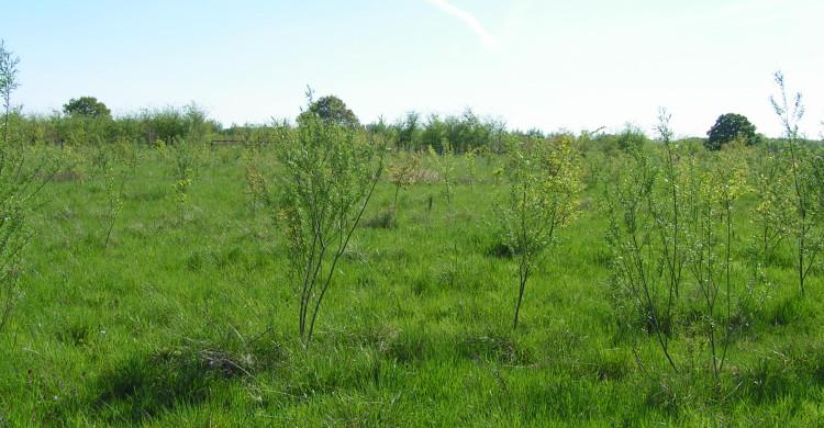 Pflanzfläche zur Auwaldinitialisierung (Foto Damm)