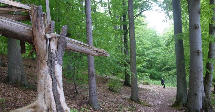 Im FFH-Gebiet Forst Buberow sind insbesondere auch bodensaure Buchenwälder zu erhalten und zu entwickeln. Totholz ist zu erhalten.